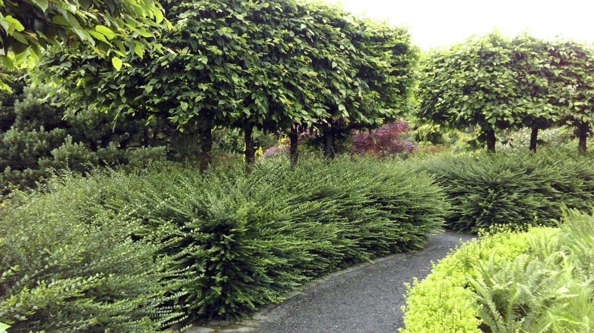 Spaleerpuud moodustavad kõrge alt õhulise heki. Ideaalne lahendus, kui pead veidi kõrgemaid vaateid varjama. Spaleerpuude alla saad rajada tavalise heki ning heki ja puudevahelise ava jätta täpselt nii suureks, kui soovid. Spaleerpuudeks sobivad näiteks pärnad ja pirnipuud, ka dekoratiivõunapuud.