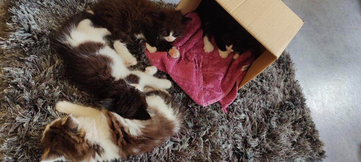 Varjupaika sattus kassipesakond, kellel kõigil on 6 varvast