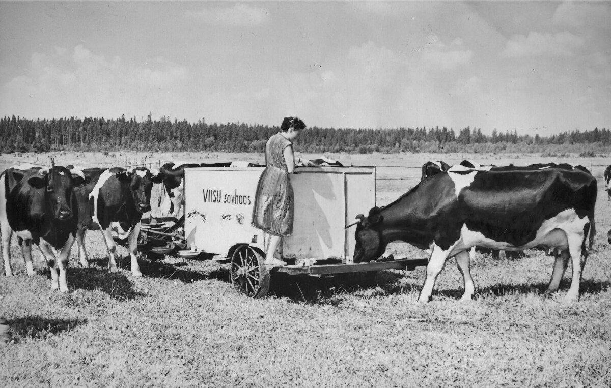 Viisu küla, Viisu sovhoos 1953 - 1954. Viisu sovhoosi piimakari kultuurkarjamaal automaatjootja juures 1957. aastal.