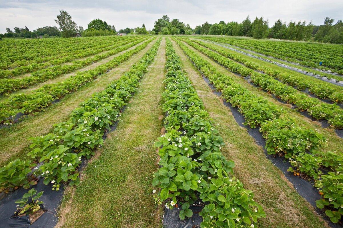 Maasikapõldudel valmiv saak ootab vähenõudlikke töökäsi. Pilt on illustreeriv.