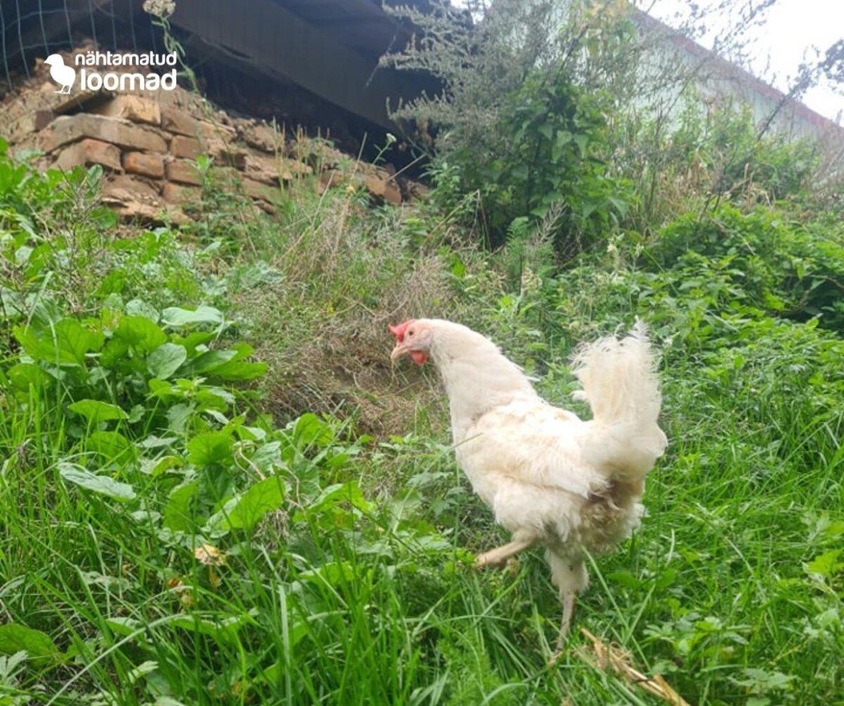 Puurist päästetud kanad