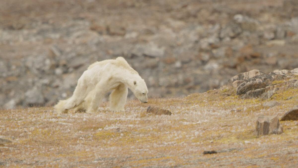 Jääkarudel on Artika jää sulades üha keerulisem saaki püüda.