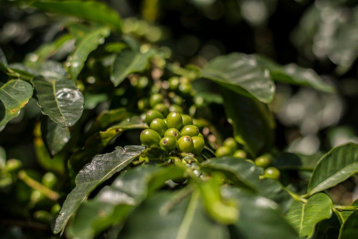 Rohelised kohvimarjad pole veel korjamiseks valmis – need peavad küpsema kas kollaseks või punaseks.