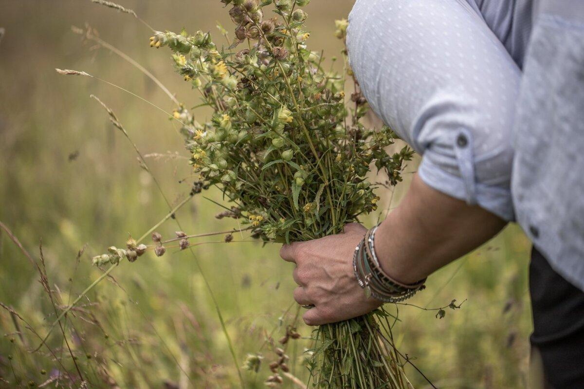 Taimede korjamine seemnete kogumiseks.