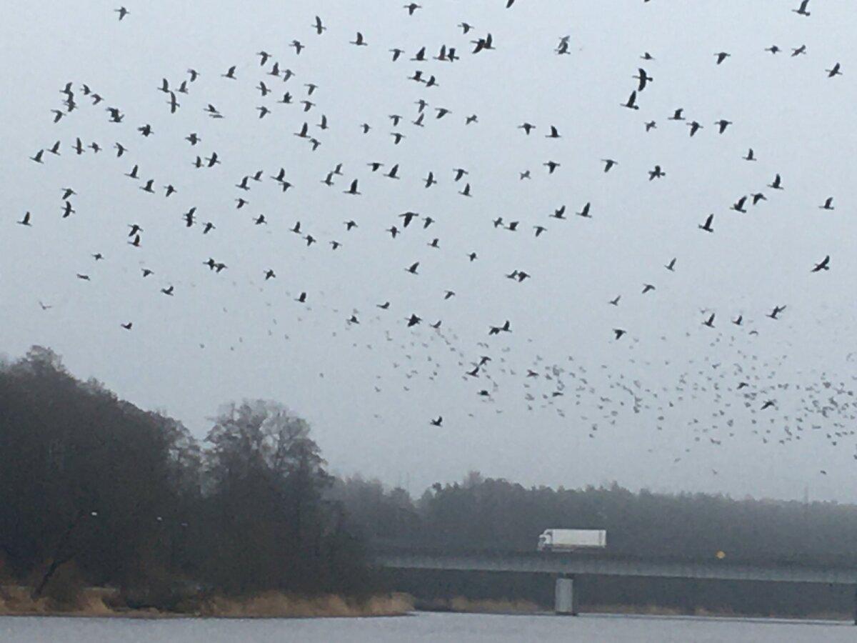 Kormoranid Pärnu jõel. Linnuvaatlejate sõnutsi võib meritindi koelmualadel toituvate kormoranide hulk ulatuda 2021. aastal paarituhande isendini.