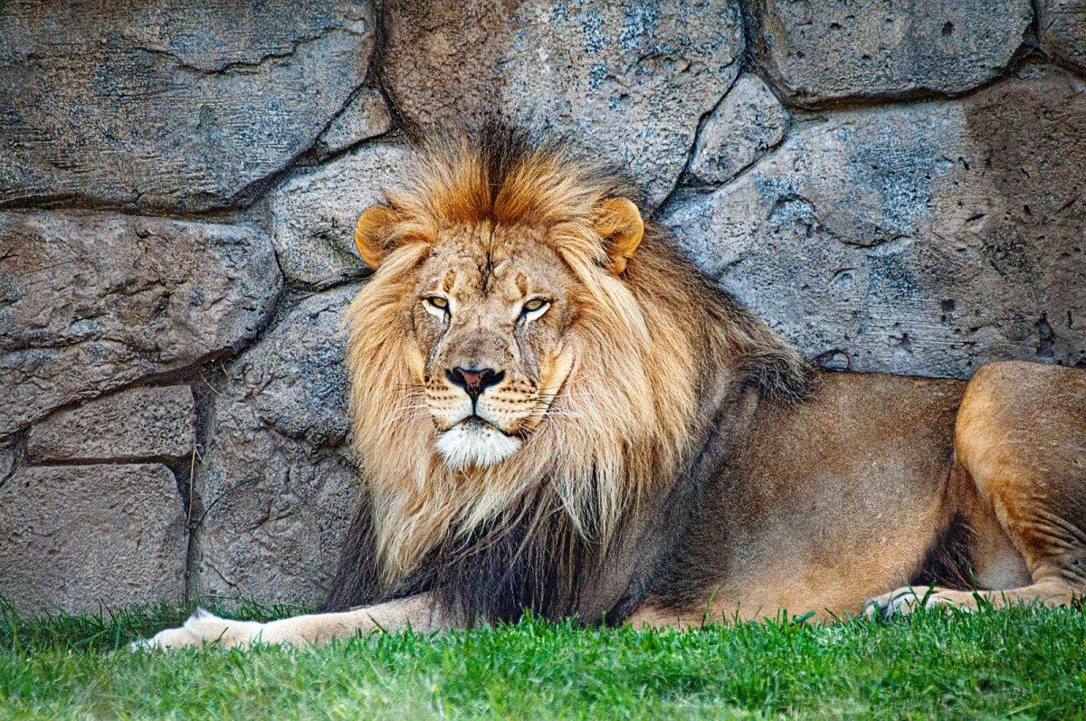 Lõvid elavad vabas looduses 10–14 aastat. Vangistuses võivad nad elada ligi 20 aastat.