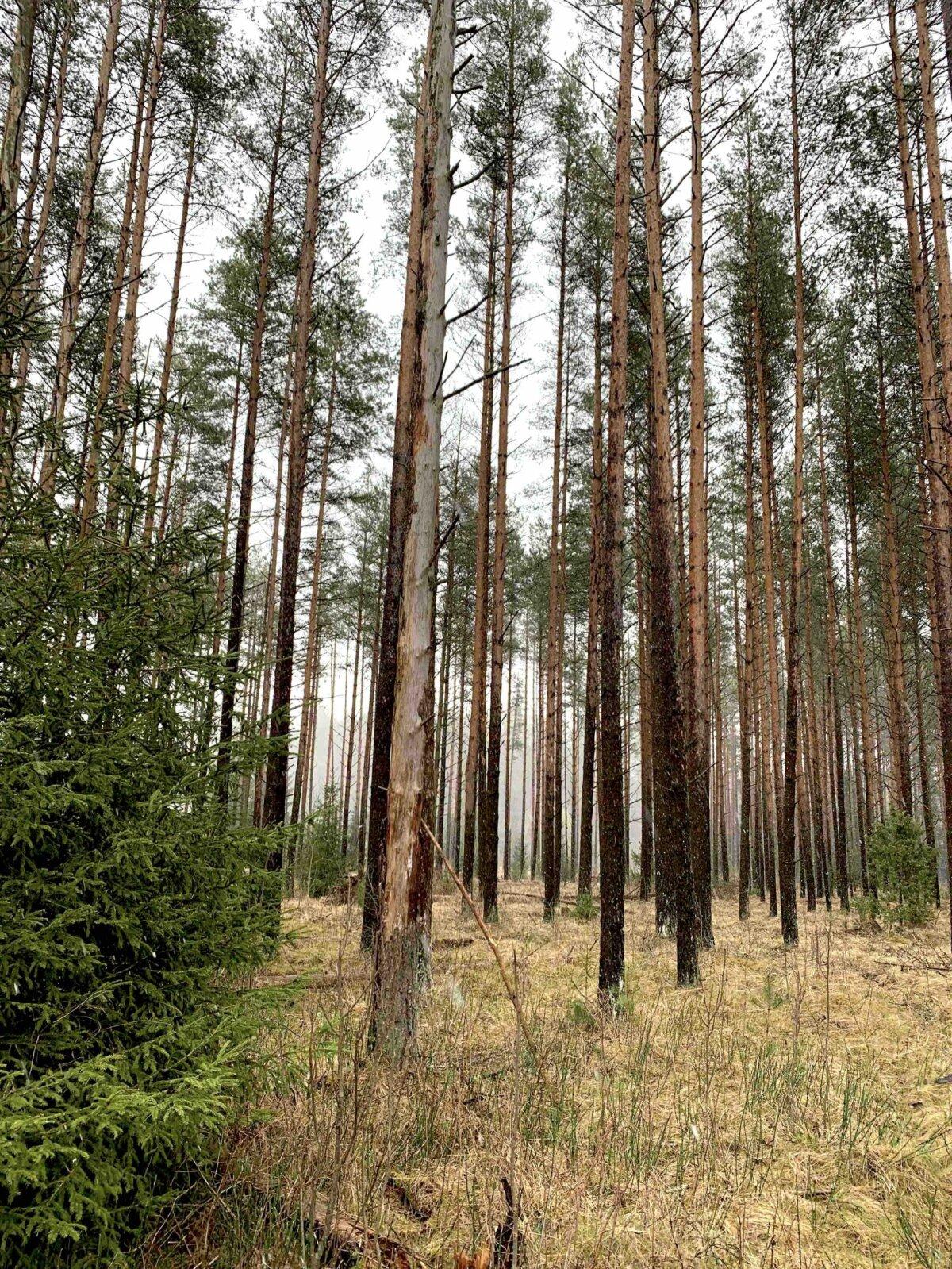 Kahjustunud puud Rootsimetsa kinnnistul.