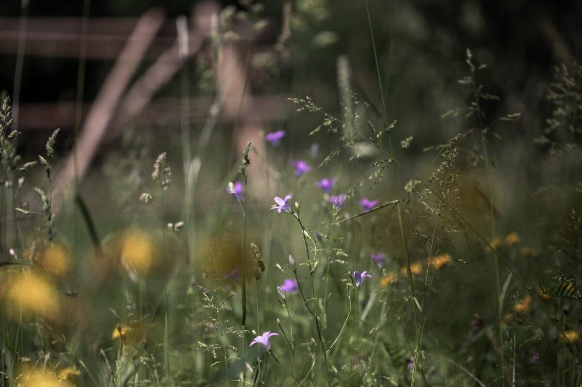 Kord aastas vikatiga niidetav niit Tiia Morfini aias.