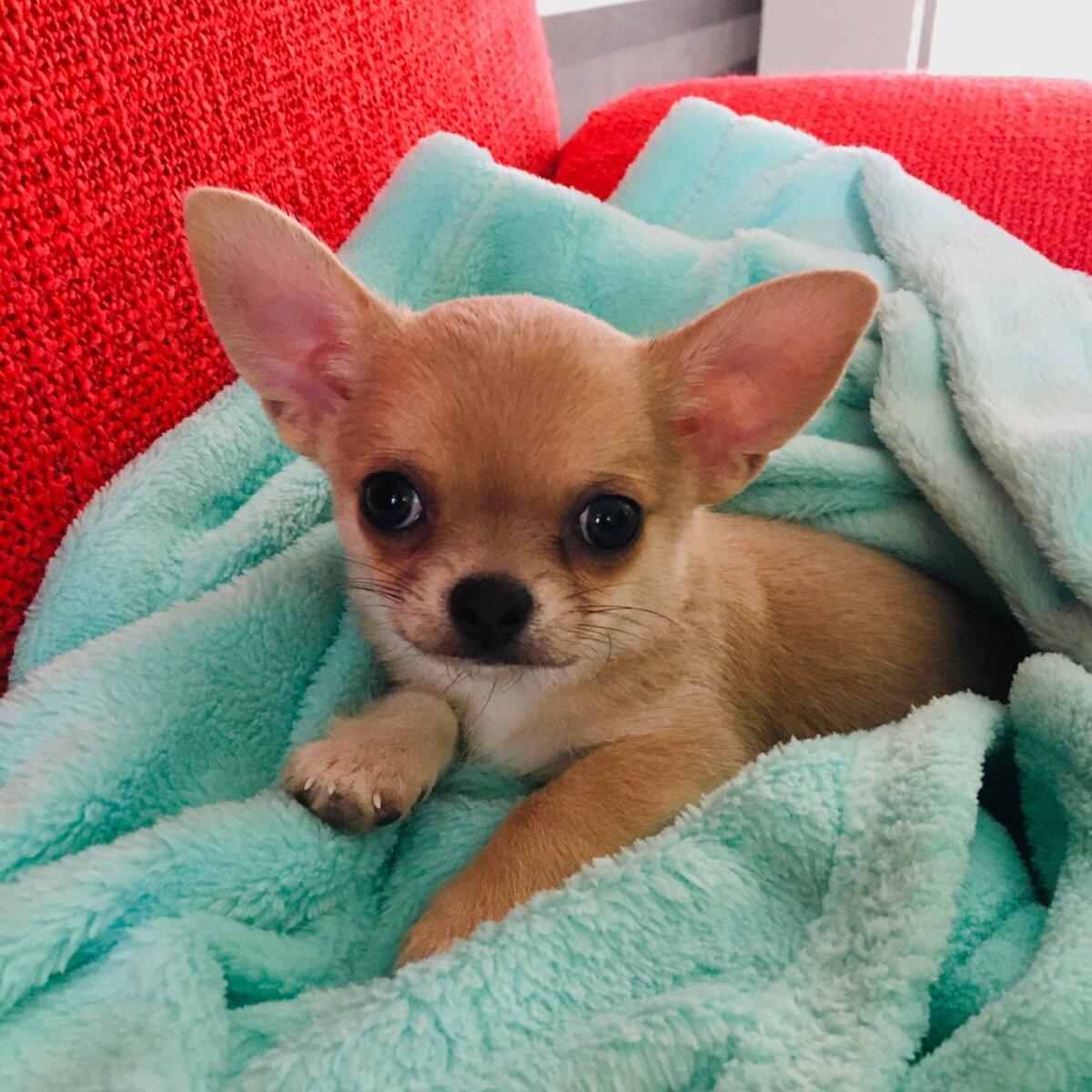 Chihuahua Rudy
