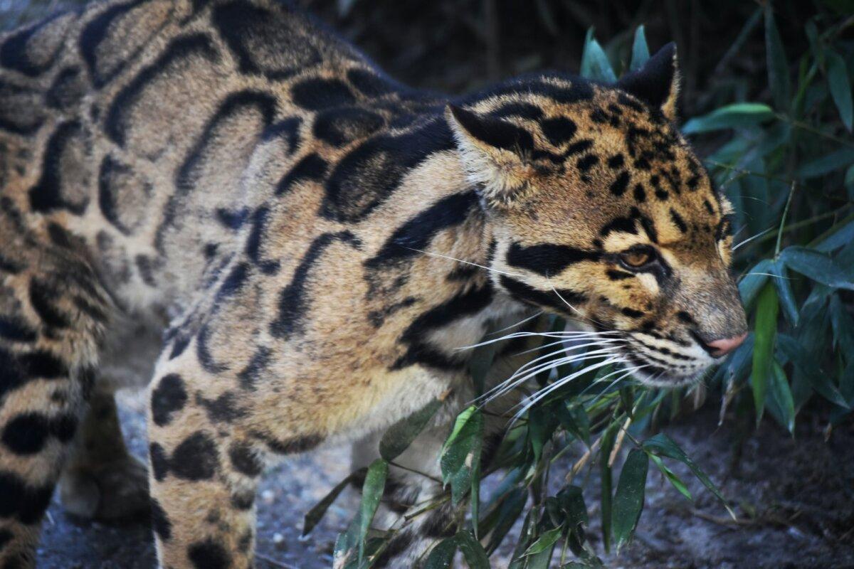 Kasvult on pantrikud väiksemad kui leopardid ja teised suured kaslased.