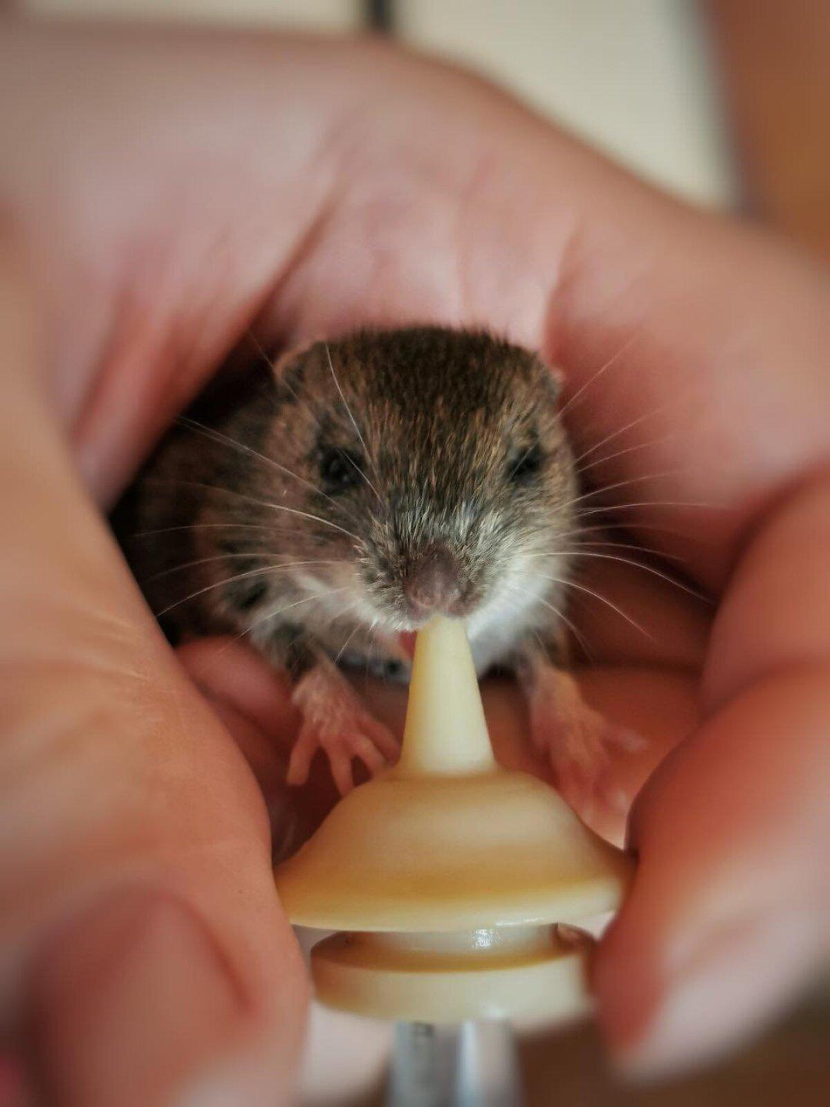 Leitud hiirepoeg