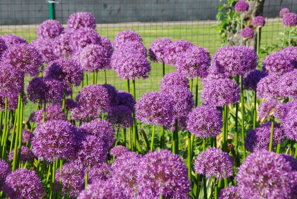 Ilulauk Round and Purple