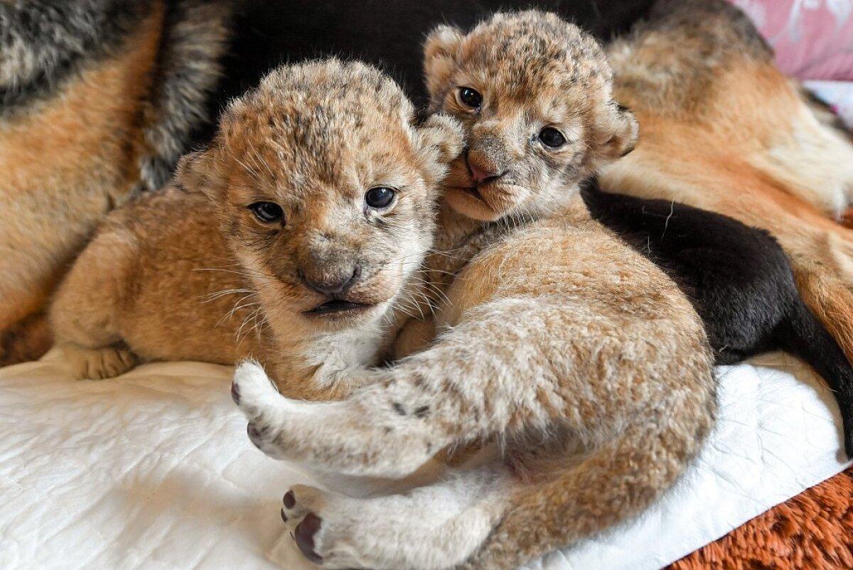 Sandra ja lõvikutsikad
