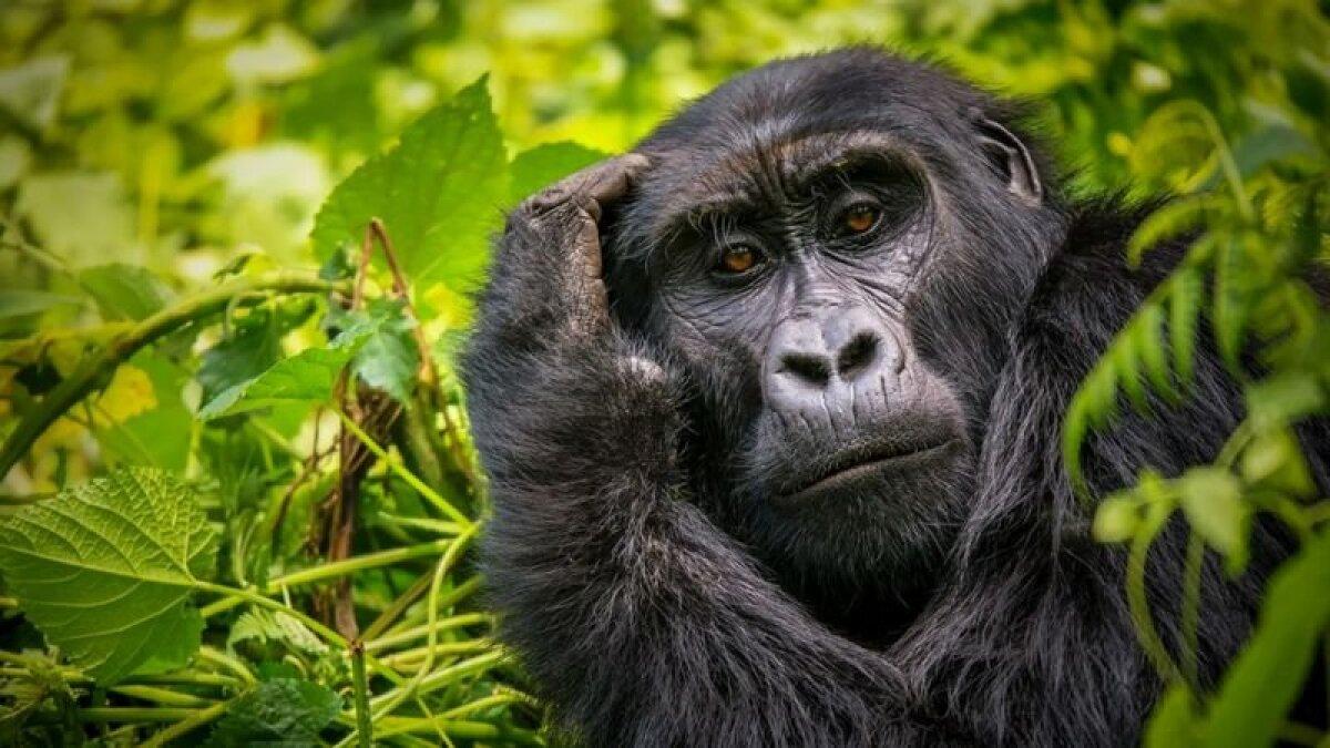 Загляните в глаза горилле, и вы сразу ощутите, что на вас оценивающе смотрит представитель иного разума