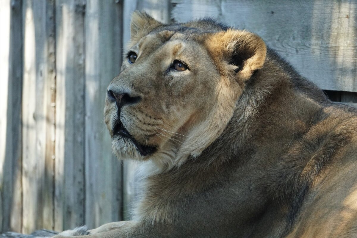 Lõvi Juna