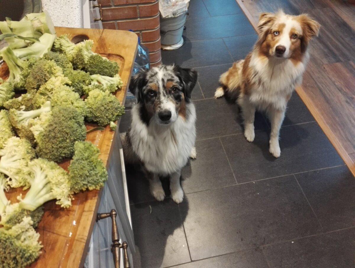 Tervislik vahepala. Ka koerad krõbistasid hea meelega brokkolit.
