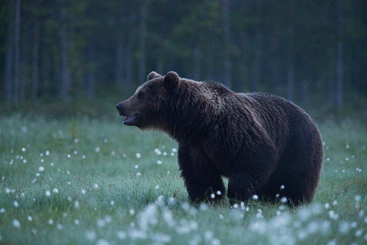 Karu tuleb oodata kaua ja mõnikord ei pruugi mitu päeva ühtegi näha. Sellelgi ööl jäi Karl varjes karu oodates magama. Üles ärkas kõhutunde peale.