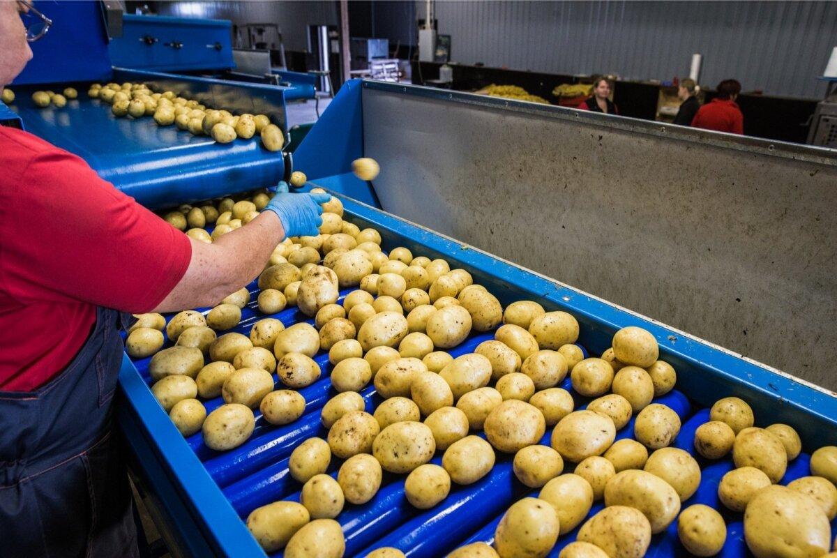 Pestud kartulid lähevad poodi müüki.