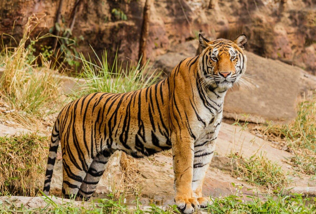 Tiiger on suurim kaslane, kes kasvab kuni kolme meetri pikkuseks.