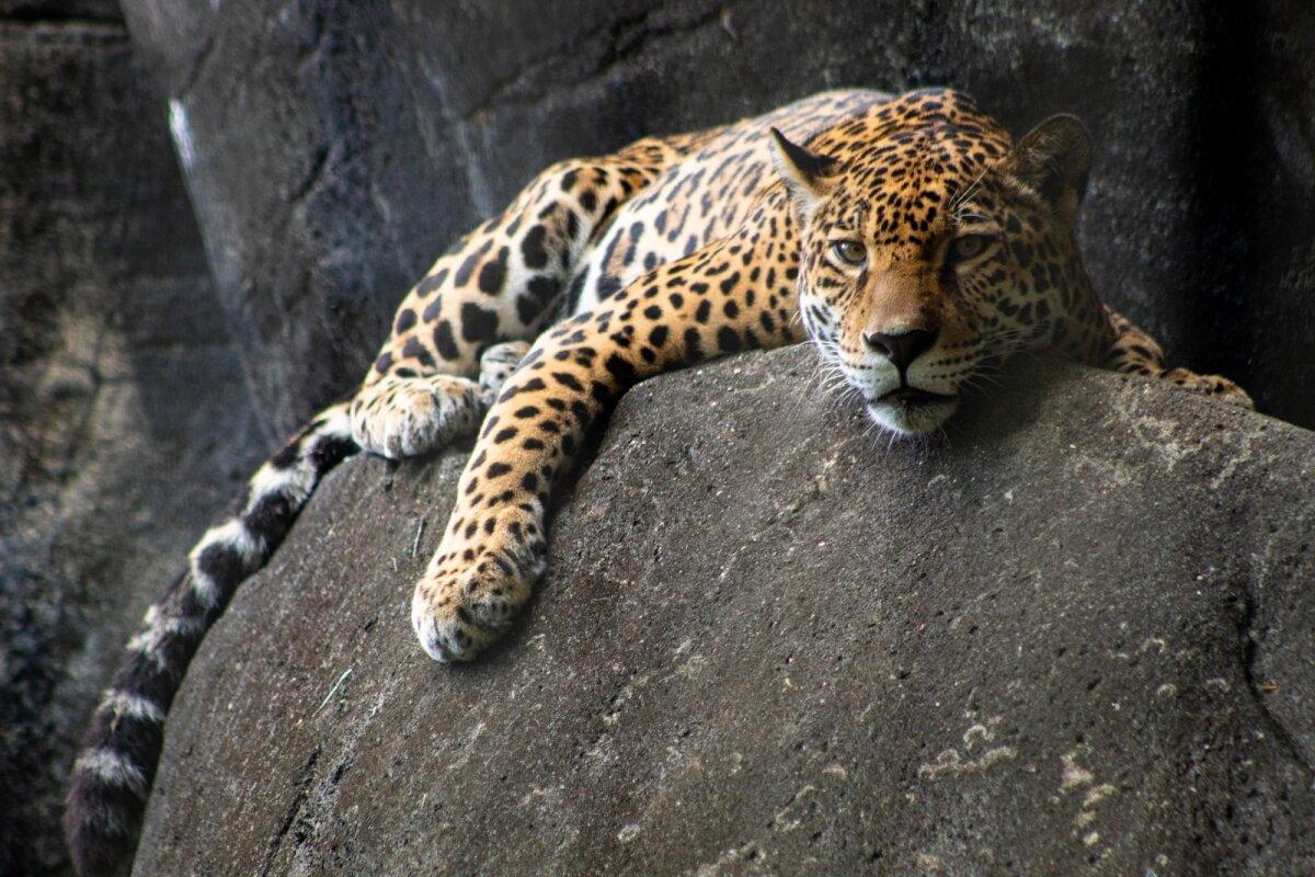 Jaaguar on Ameerika suurim kaslane, kelle levikuala on Põhja-, Kesk- ja Lõuna-Ameerika.