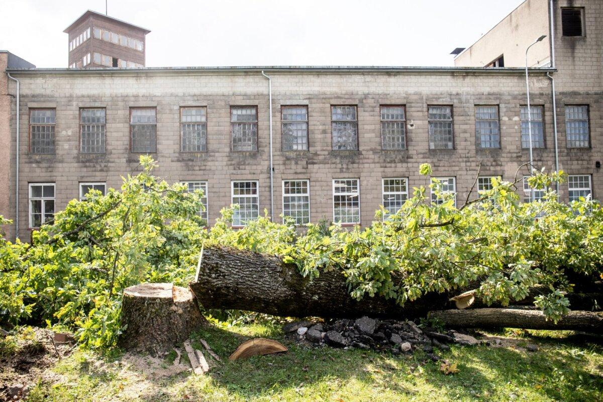 Viljandi linnavalitsus protestidest ei heitunud ja jätkas puude saagimisega kohe, kui kohtu seatud õiguskaitse kadus.