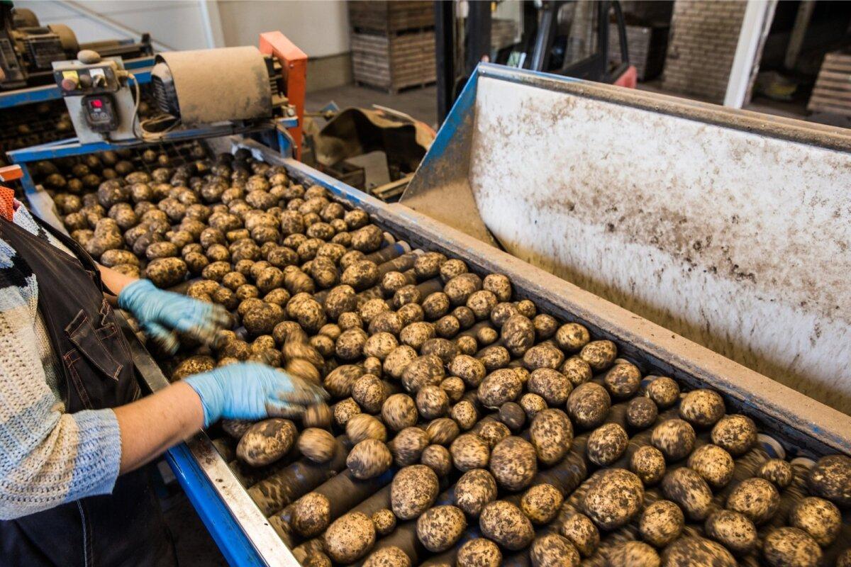 Enne pesemist käivad kartulid töötaja terava pilgu alt läbi, et ei satuks sisse kive või muud prahti.