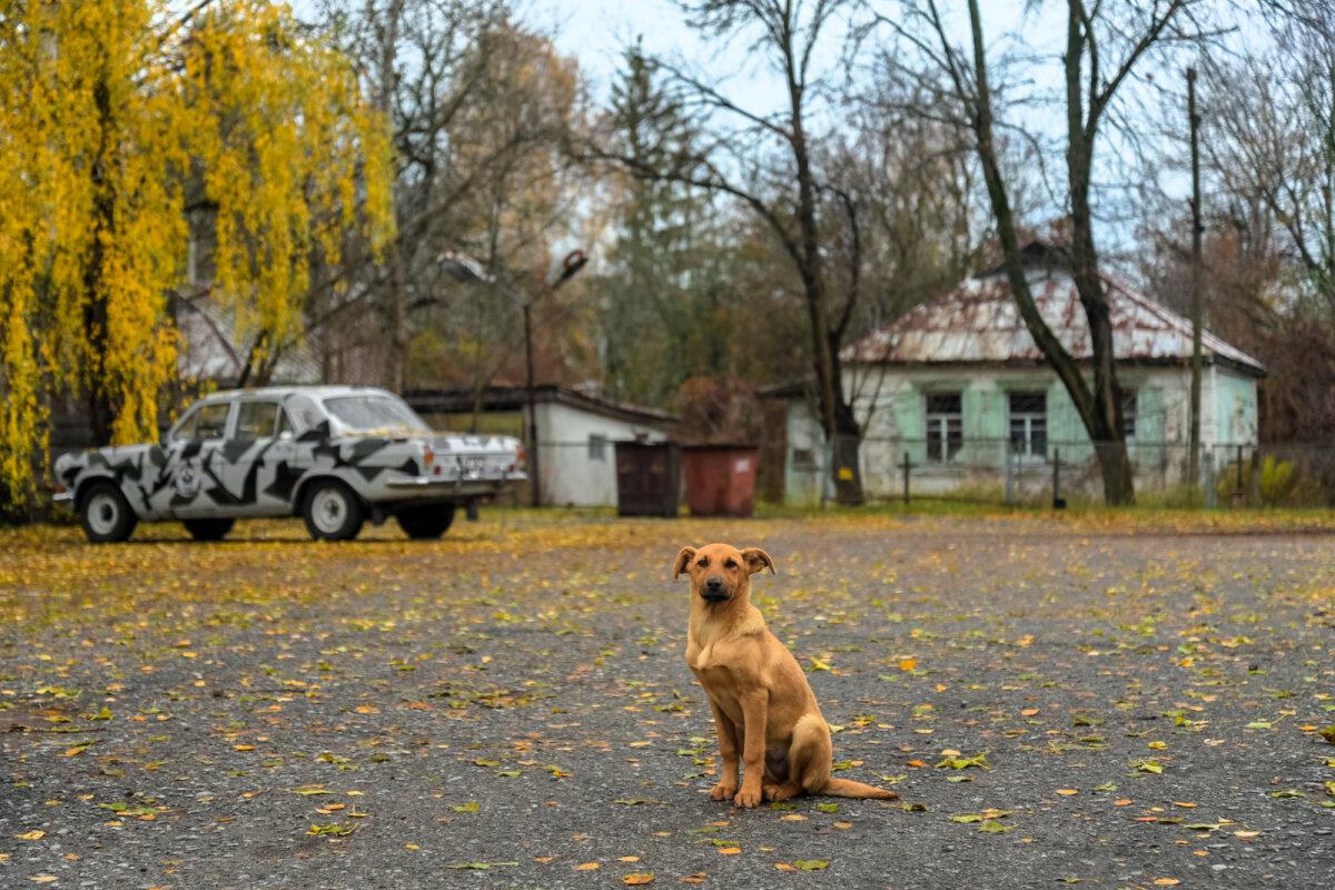 Tšornobõlis elav koer (Wikimedia Commons / Jorge Franganillo)