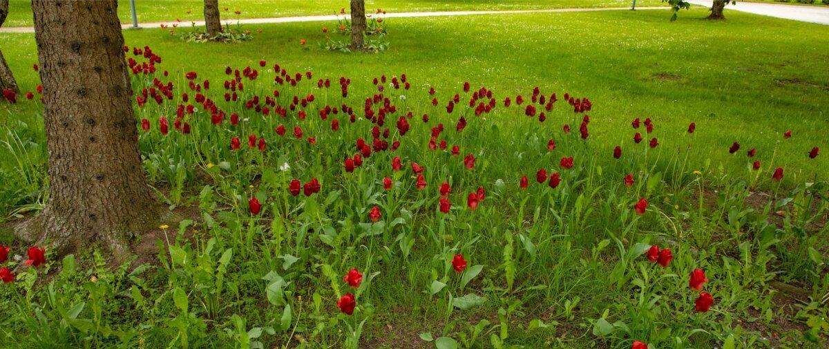 Räpina aianduskooli pargi muru koos tulpidega.