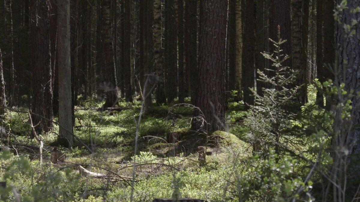 See mets oli 60 aastat tagasi võssa kasvanud raielank.