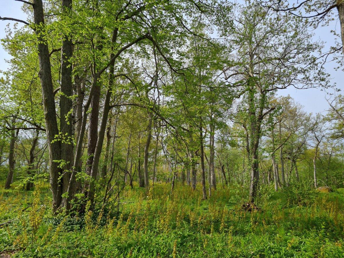 Igal aastal taastatakse ligi 500 hektarit poollooduslikke kooslusi. Niisugune näeb välja taastatud Loode tammik Saaremaal.