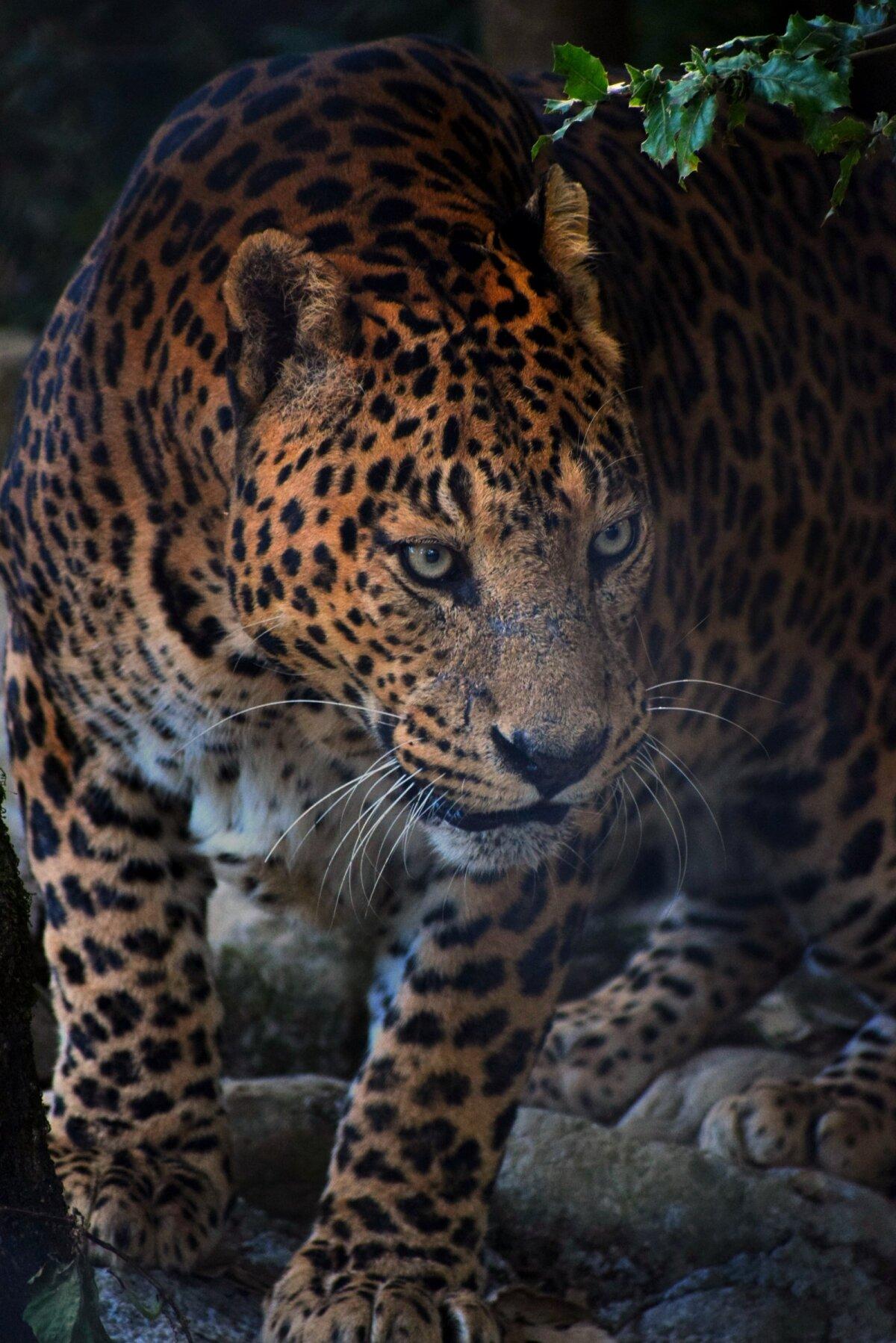 San Diego loomaaia andmetel võib leopard kaaluda kuni 75 kilogrammi.