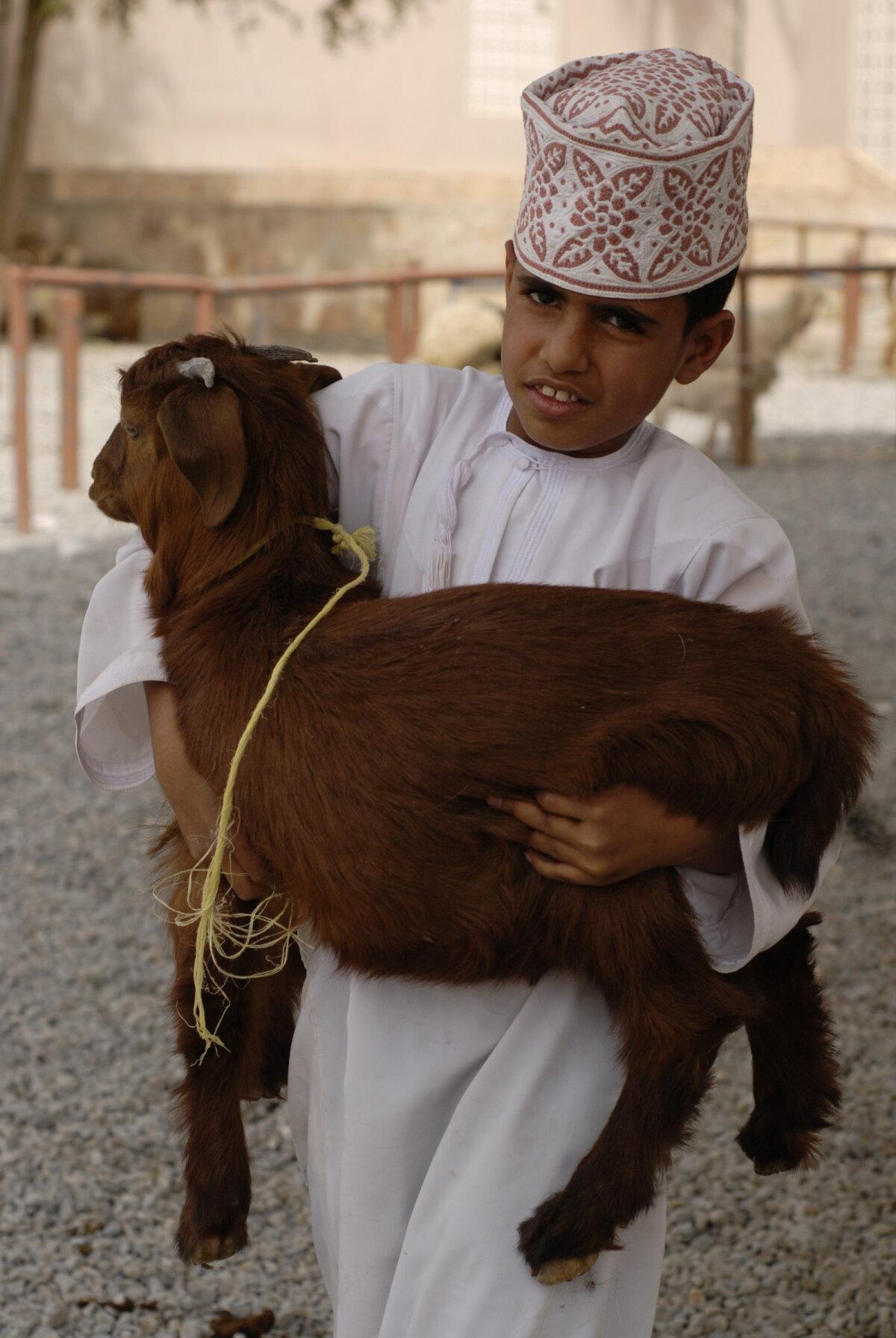 Omaanis on kitsede kasvatamine ja karjatamine lugu- peetud töö ja pojad aitavad isasid hea mee- lega. Omaani kitsed on nii liha- kui piimaloo- mana ühed hinnatuimad maailmas ja kitse hind võib vabalt ulatuda üle 100 euro, mis on seal kandis väga märkimisv