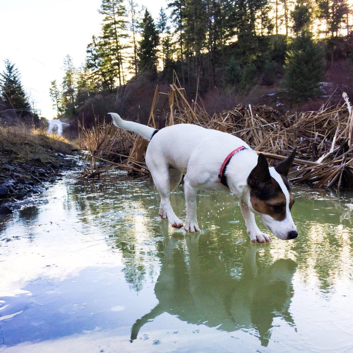 Libedal jääl liikudes peab koer olema ettevaatlik.