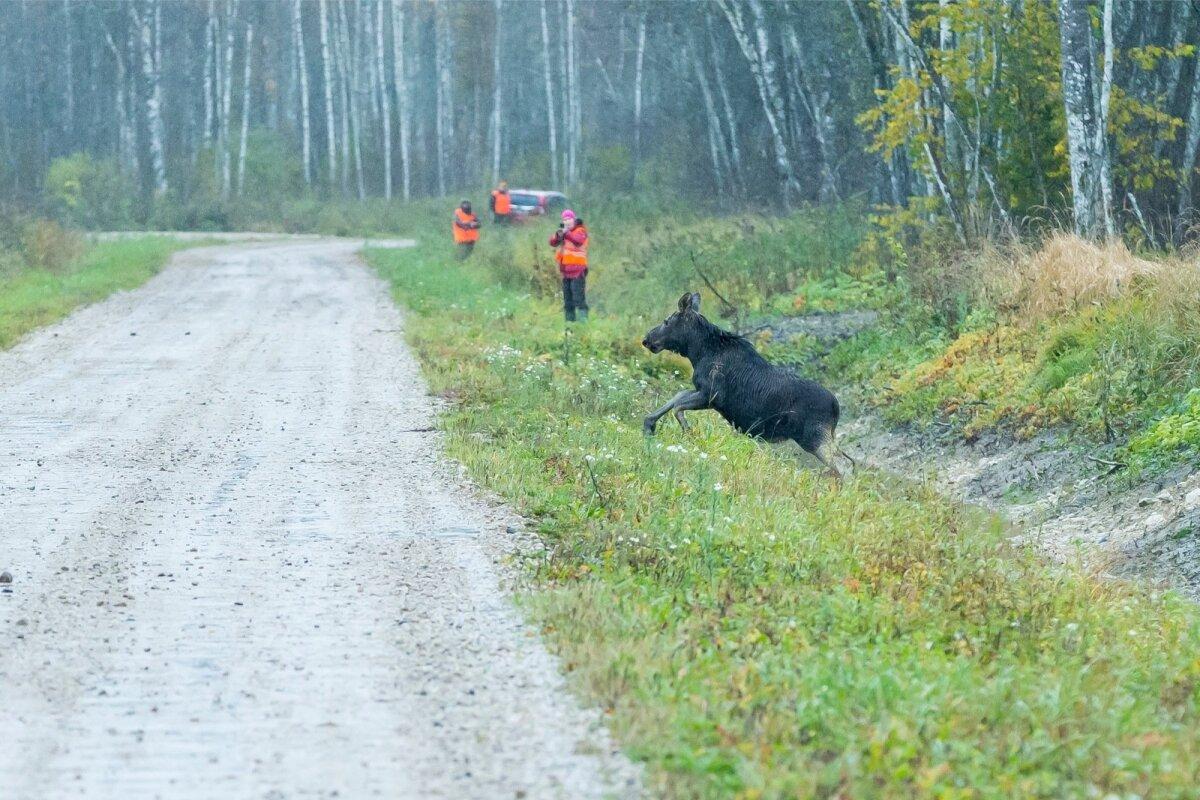 Pildil näete vasikat, kes tegi muljetavaldava jooksu ning läks seejärel oma teed.