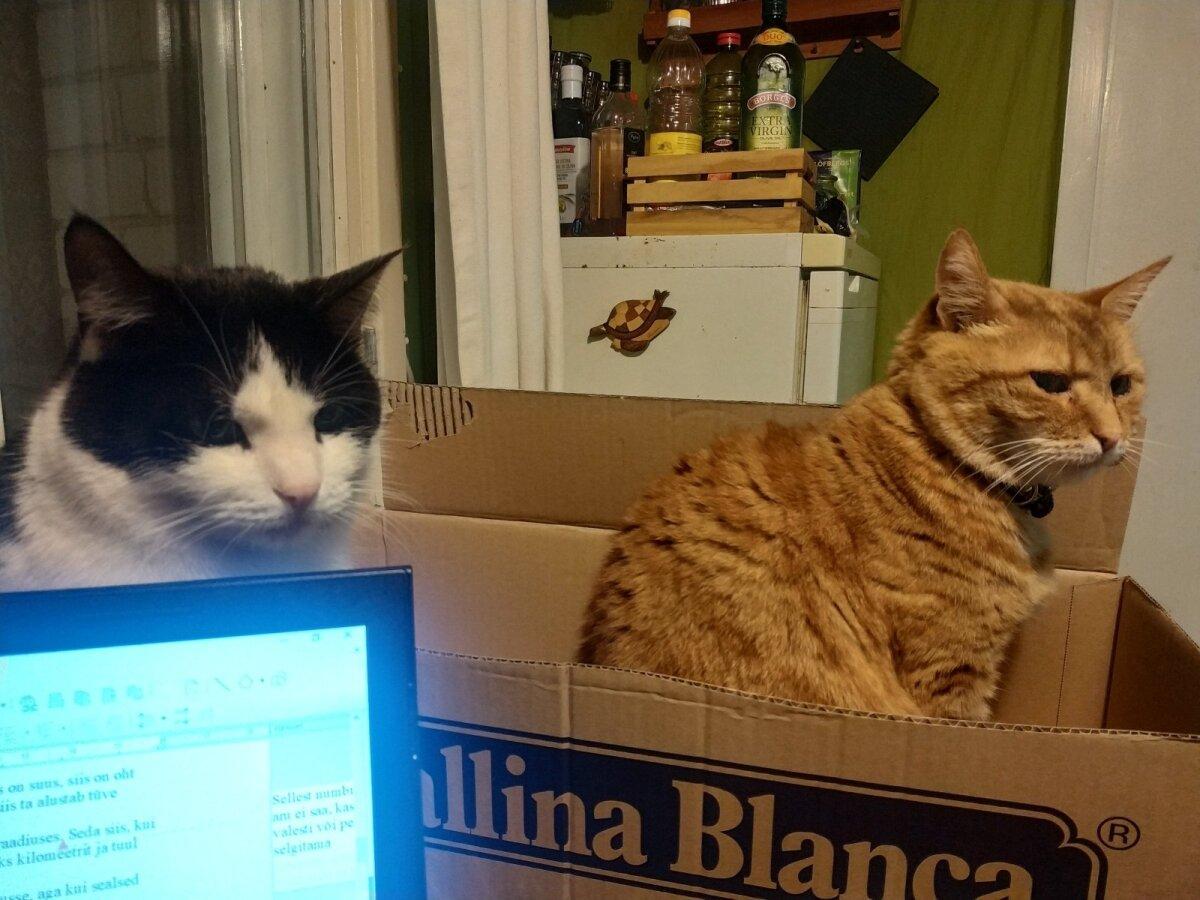 Mari Kartau kassid (vasakult) Kurri ja Tibu