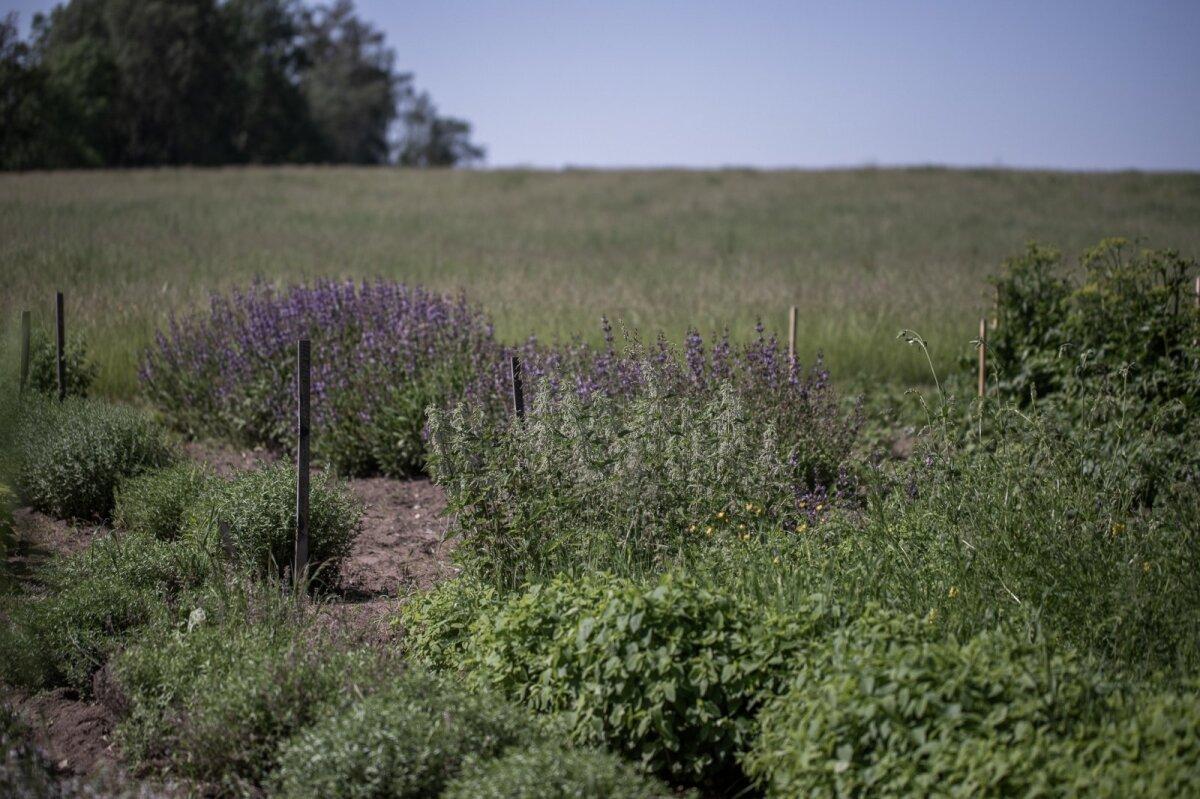 Maitse- ja ravimtaimed Tiia Morfini aias.