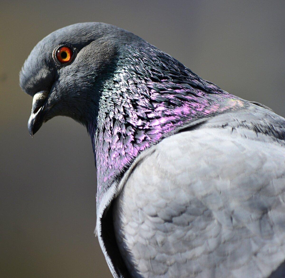 Tuvid on tõenäoliselt esimesed kodustatud linnud