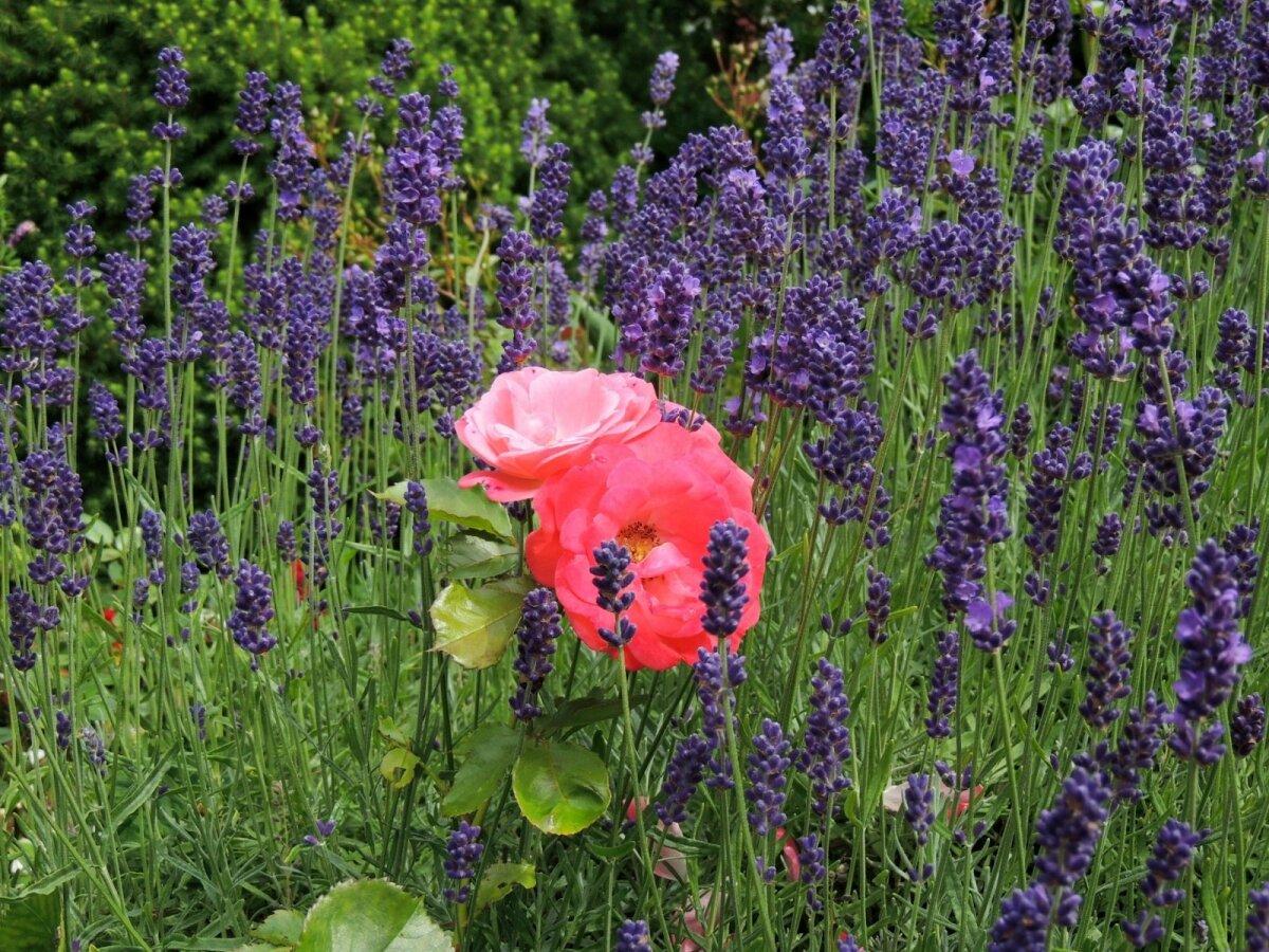 Ja lõpetuseks üks oma aia roos ka, kes end alati mõnuga lavendlitesse peidab.