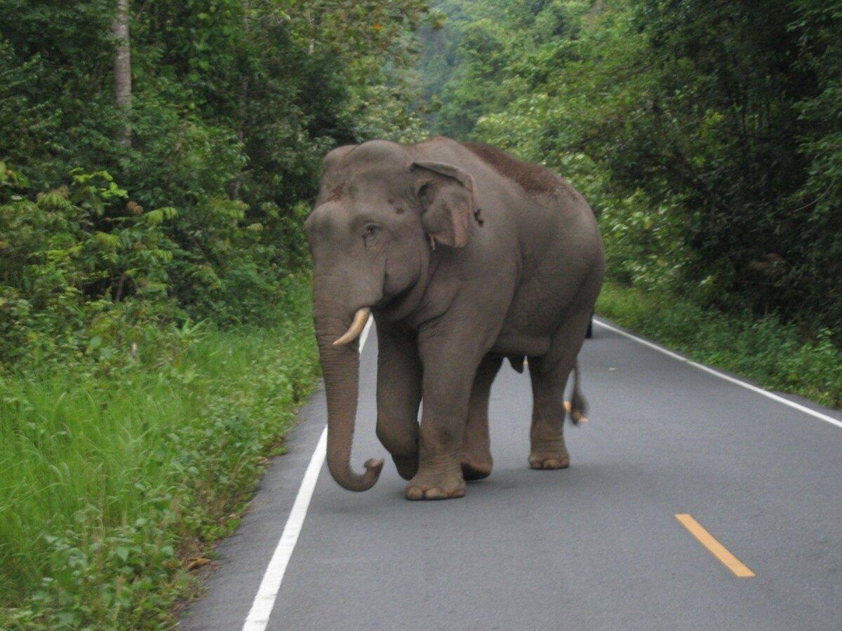 Metsik elevant Põhja-Tai rahvuspargis