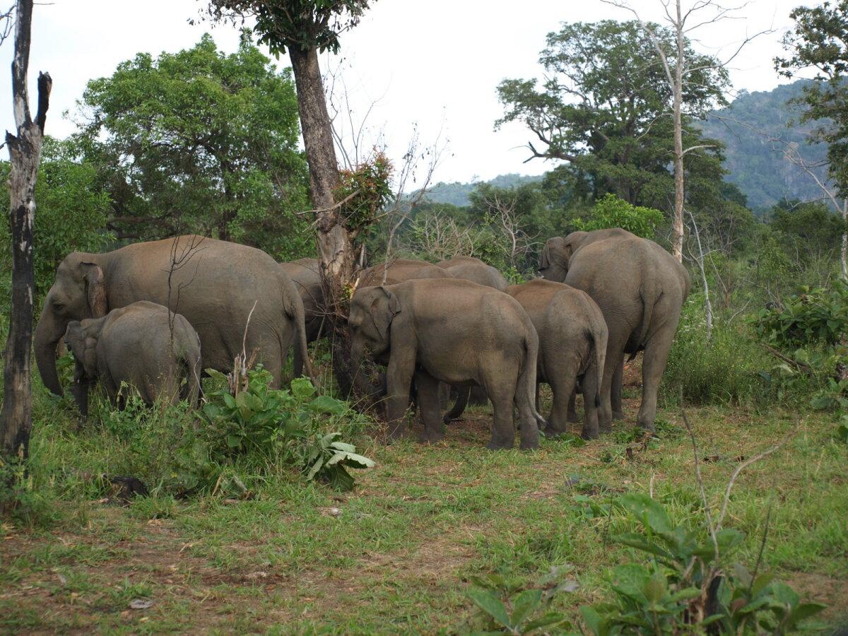 Aasia ehk india elevant (Elephas maximus maximus)