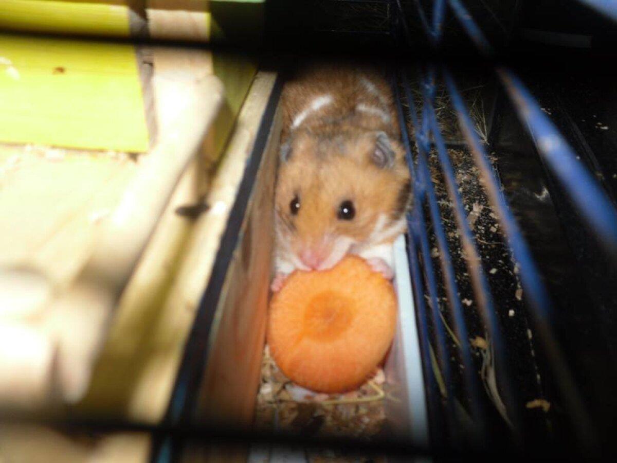 Paljassaarde hüljatud hamster