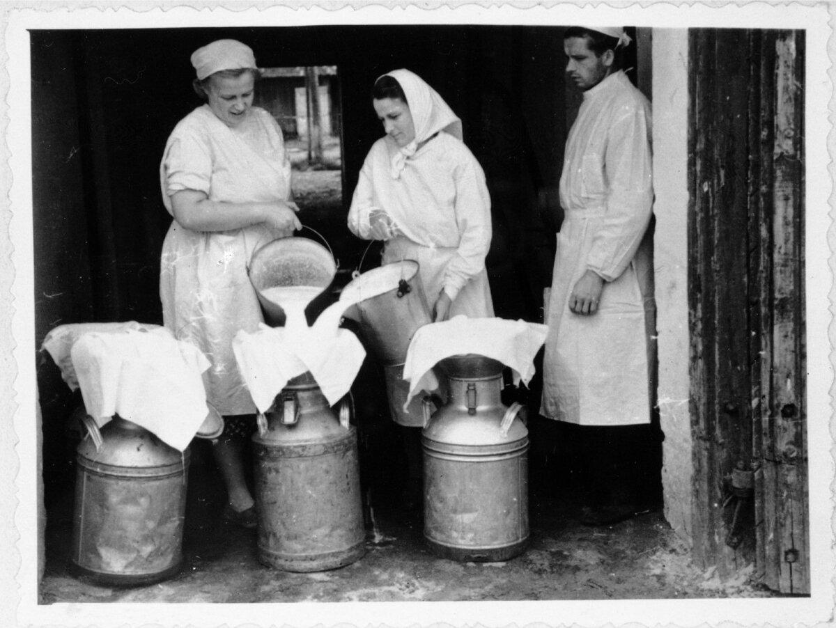 Piima kurnamine Elva rajooni Lenini nimelise sovhoosi Kobila osakonnas.