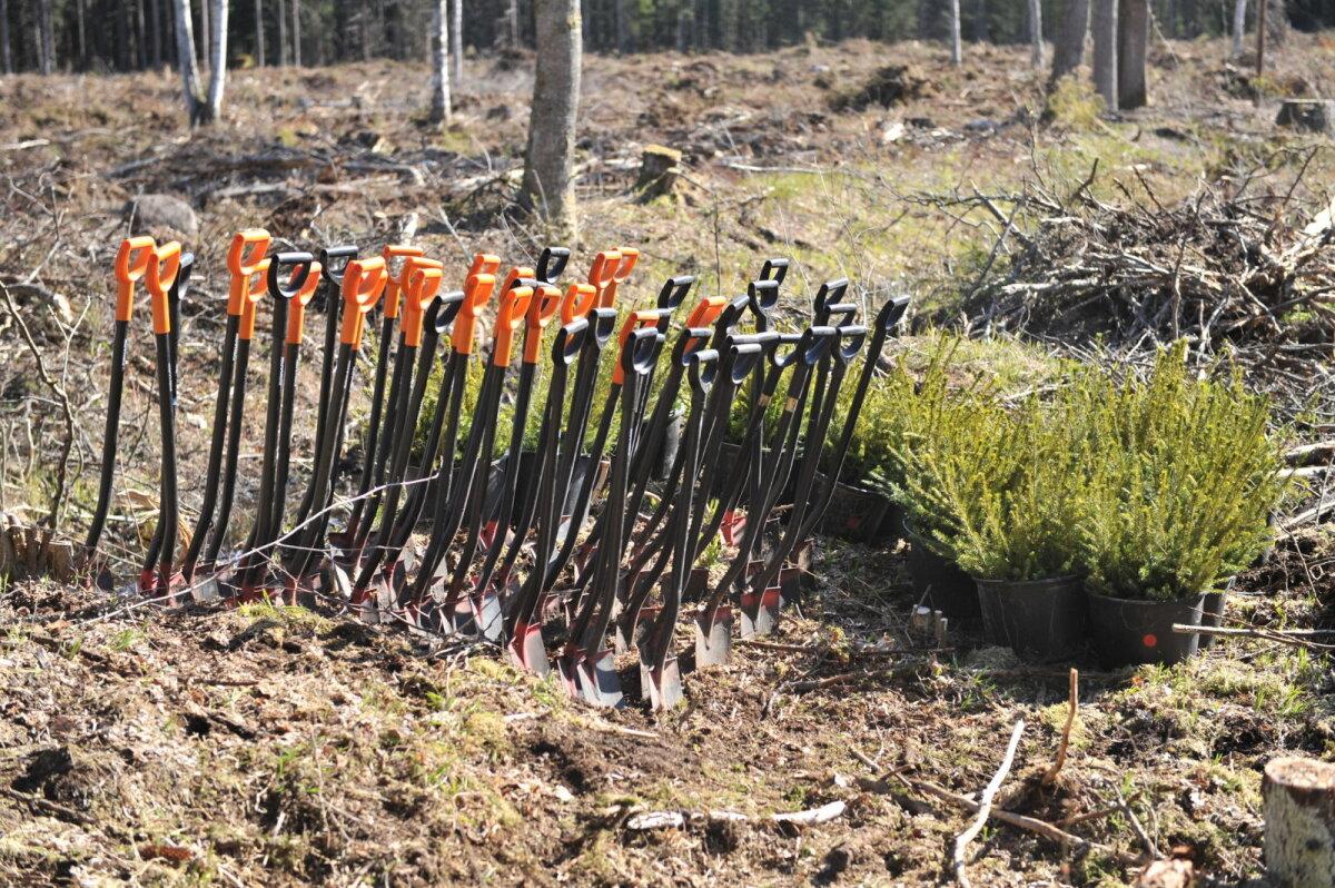 Kokku on RMK tänavu maha pannud üle 24 miljoni taime.