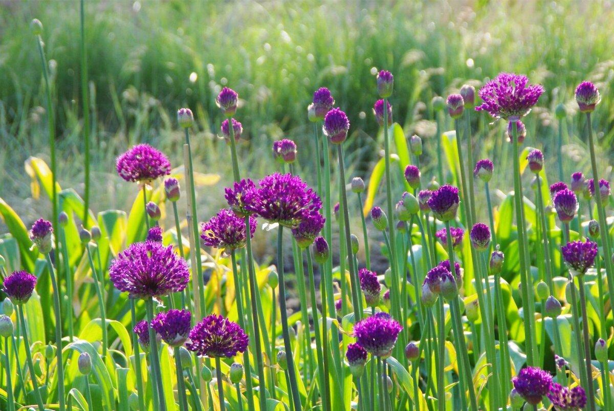 Hollandi laugu sort Purple Sensation