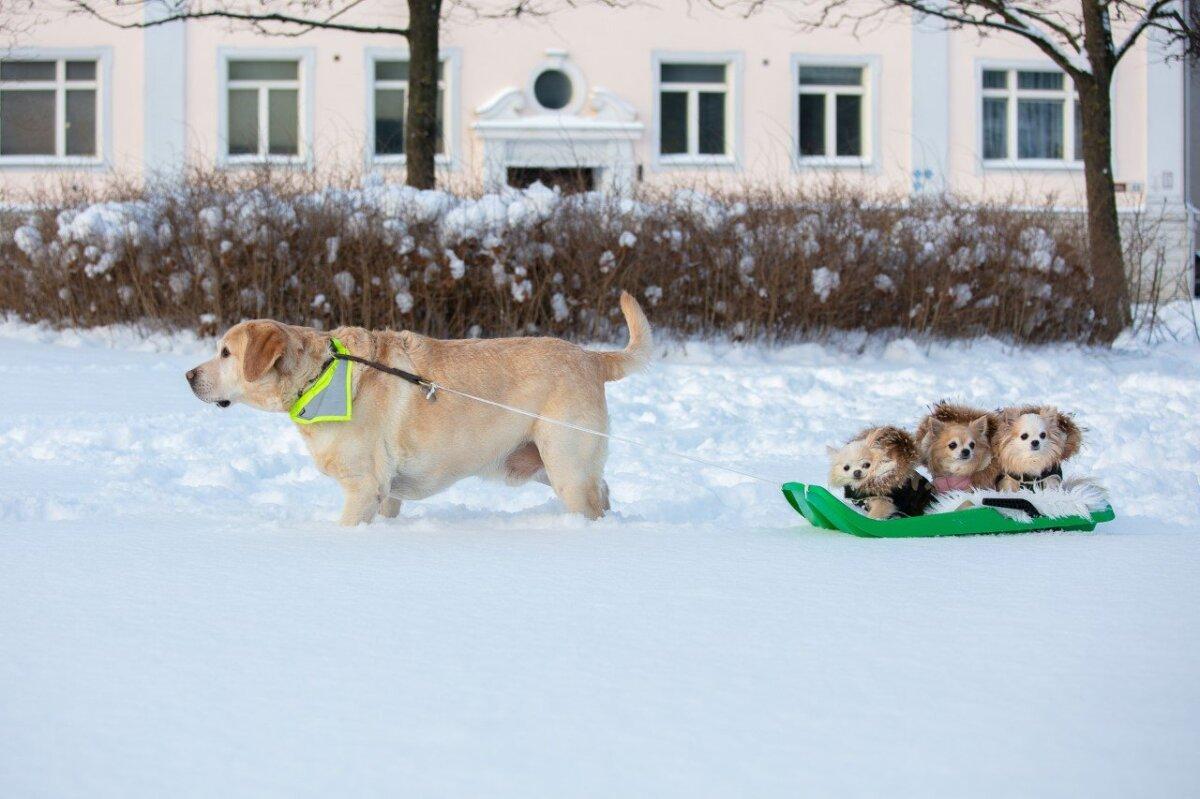 Koerad kelgutamas