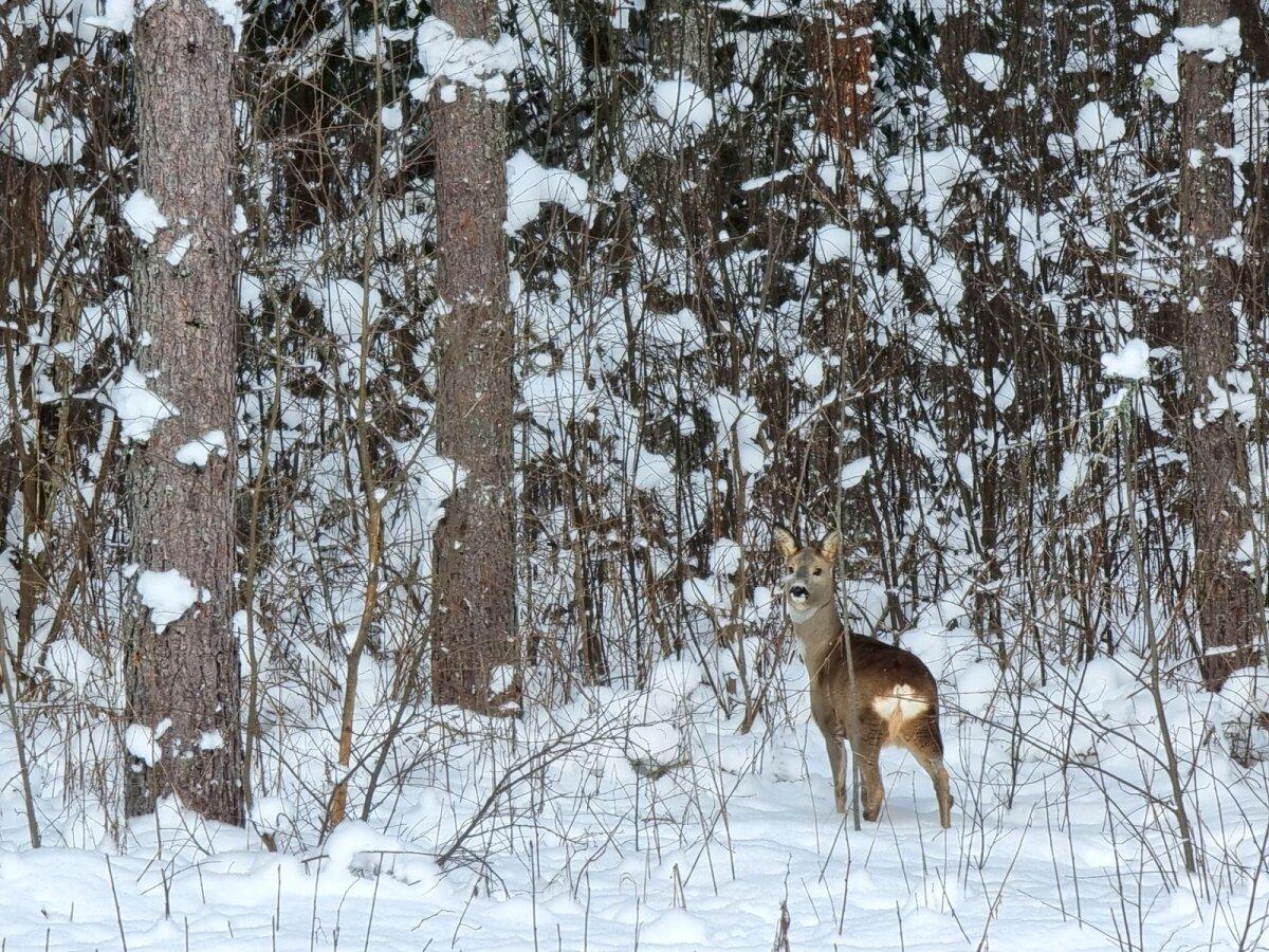 Metskits talvise metsa ääres. Pildistatud Lääne-Virumaal.