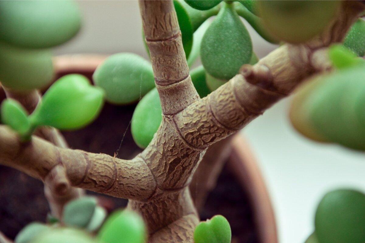 Ka toataimena kasvaval rahapuul on jõulised oksad.