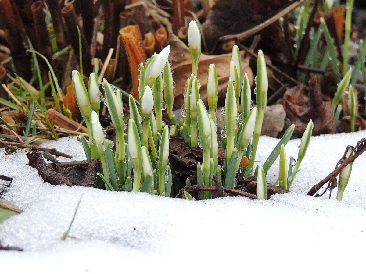 Lumikellukesed trügivad usinalt kevade poole