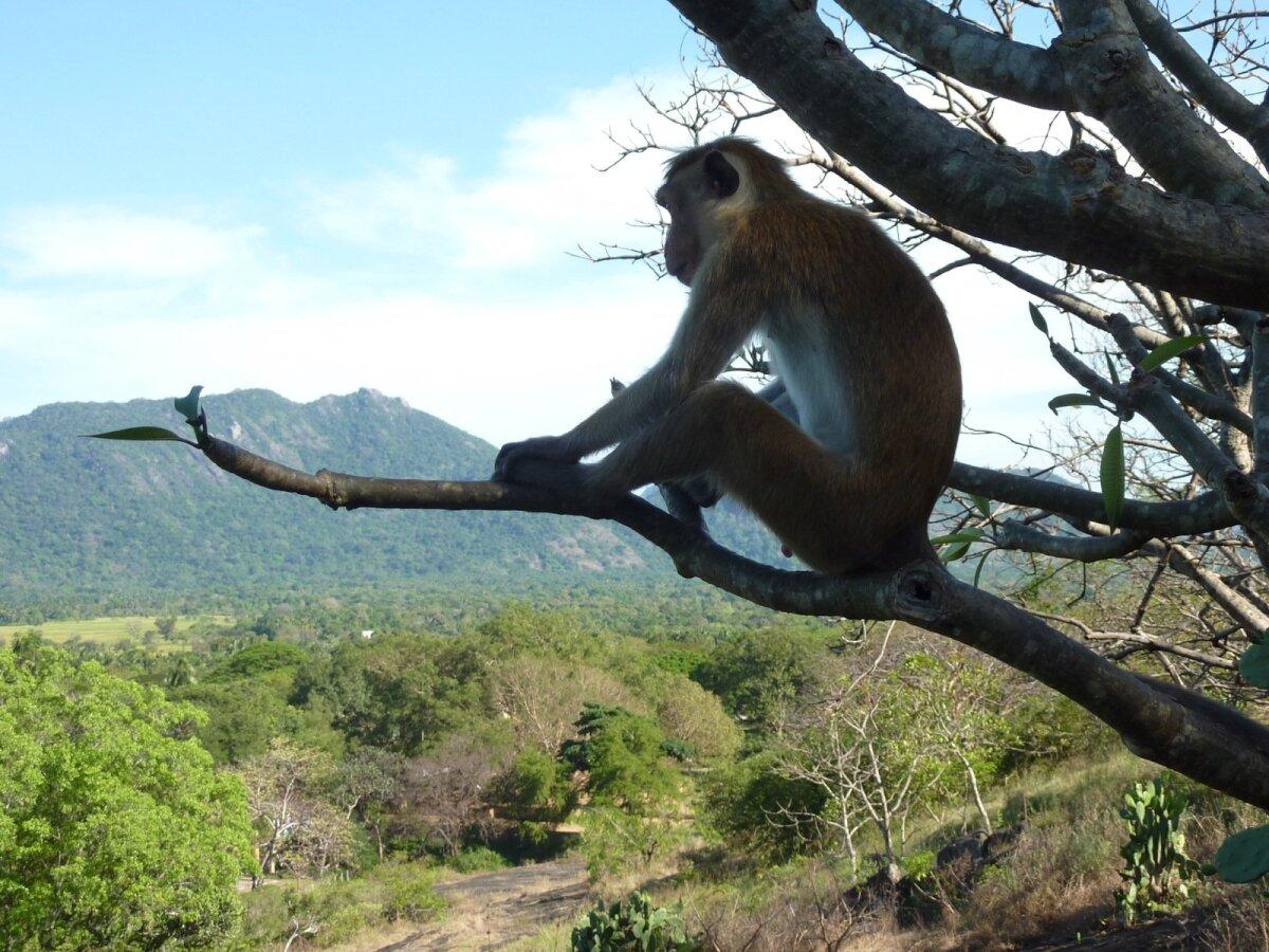 Üks tõsine ahv Sri Lankas puu otsas