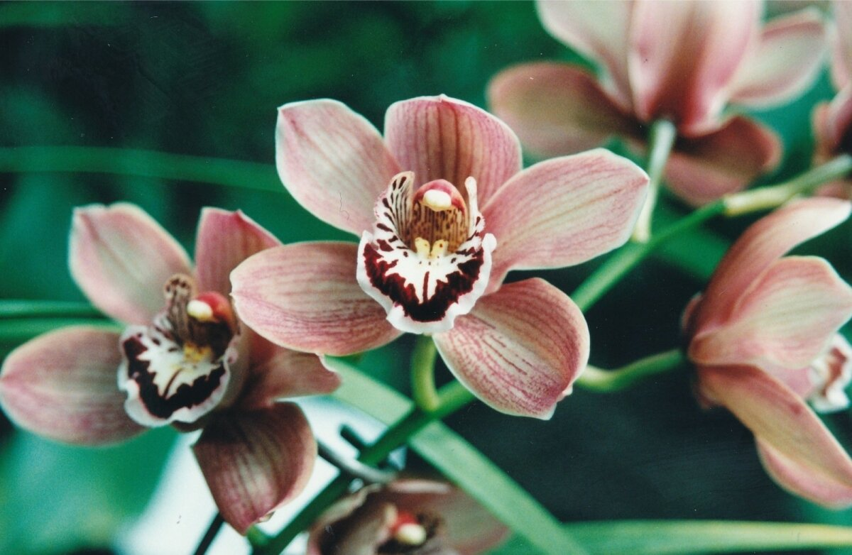 Orhidee, Tallinna Botaanikaaed